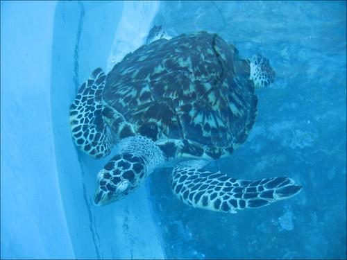 Tortugranja, Isla Mujeres, tortue carey | by endirectdesiles