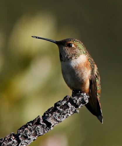 Rufous hummingbird (female) | by steveberardi