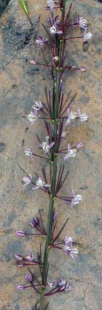 Asparagus flagellaris flowers