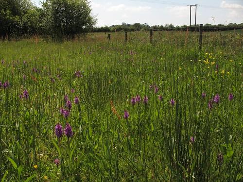 southern marsh orchids | by Nigel Jones