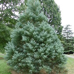 Sequoiadendron 'Hazel Smith'