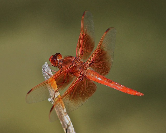 Libellula saturata, Flame Skimmer