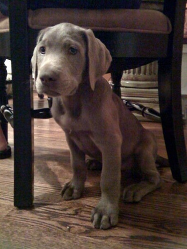 Shiner', My parents new pup | Silver lab | jrdaumer | Flickr