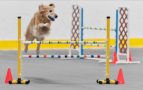Green Bay Agility Trial | by SheltieBoy
