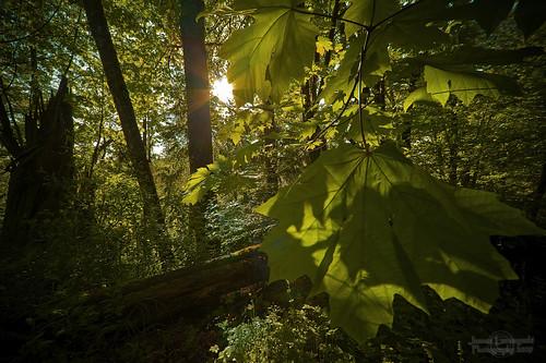 green forest geotagged maple woods walk langley 1202 sigma1224 janusz leszczynski campbellvalleypark artofseeing insearchofbeauty thegoalisnottochangeyoursubjectsbutforthesubjecttochangethephotographer geo:lat=49030553 geo:lon=122656217