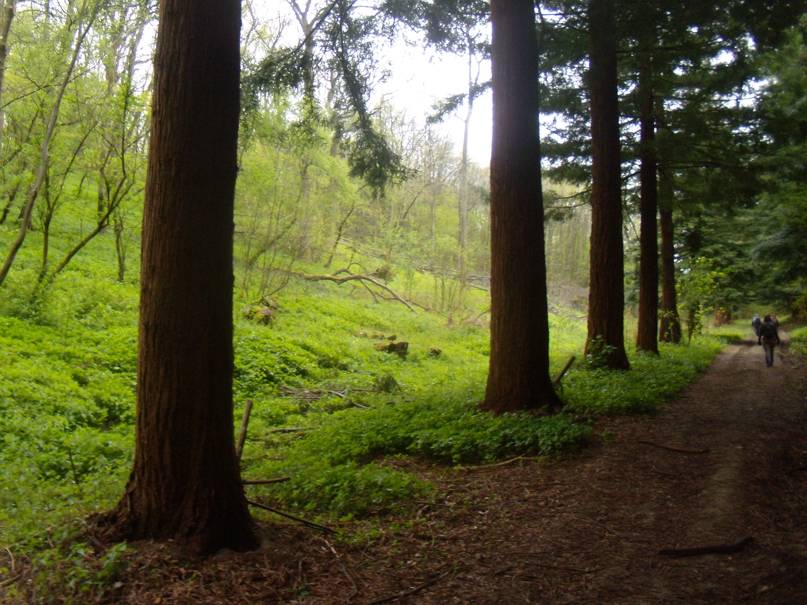 Redwood grove Meresworth Woods. Yalding to Borough Green
