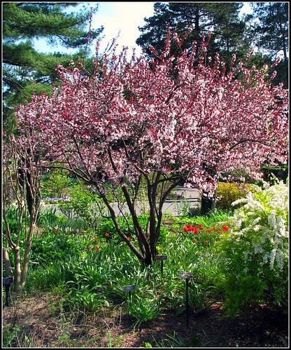 Purple Leaf Sand Cherry New York Botanical Garden Bedford Flickr