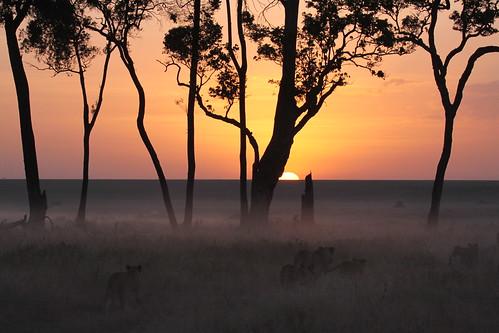 sunrise dawn lion pantheraleo