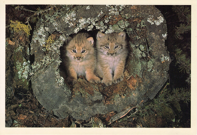 Lynx Kittens Over-sized Postcard