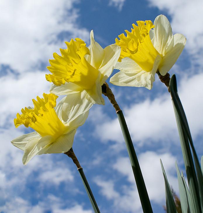 Narcisos / Daffodils
