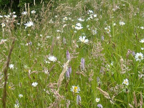 Wildflower meadow Note the orchids. Saunderton Figure of 8. Bledlow loop