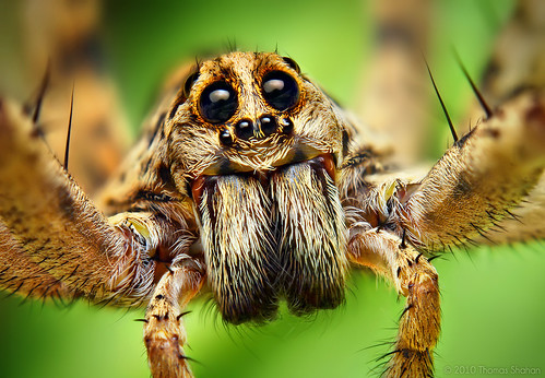 Portrait of a Wolf Spider in the Hogna Genus | by Thomas Shahan
