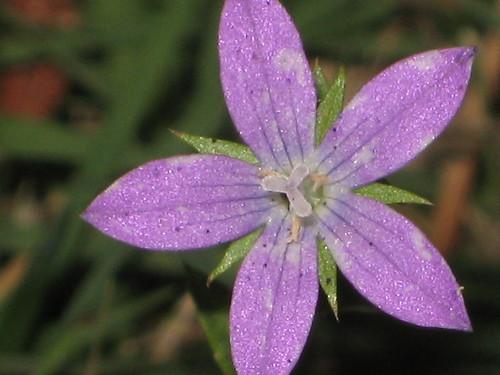 plant flower green yard petals weed purple arkansas pollen flickrchallengegroup
