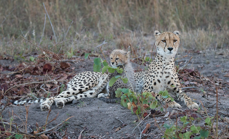 Cheetah mum and her cub