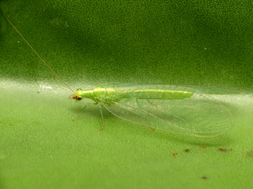 Green Lacewing | by treegrow