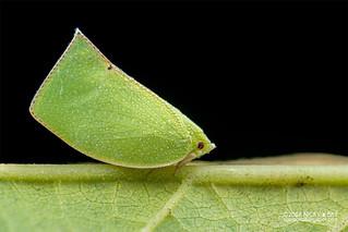 Planthopper (cf. Siphanta sp.) - DSC_7202