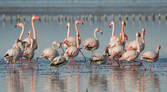 Soft winter sun shines on a group of flamingos.