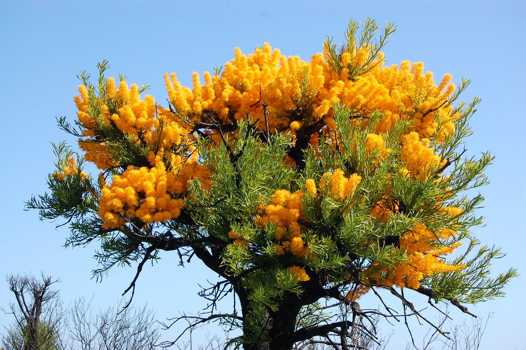 Australian Christmas Tree Pine.Western Australia Christmas Tree Nuytsia Floribunda Flickr