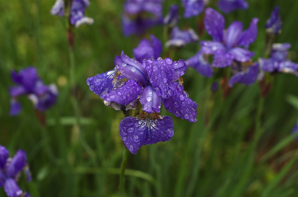 Rainy Day Garden - Japanese Iris by nataraj_hauser / eyeDance