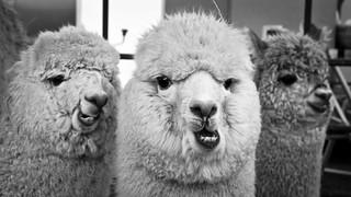Alpaca x 3 | by publicenergy