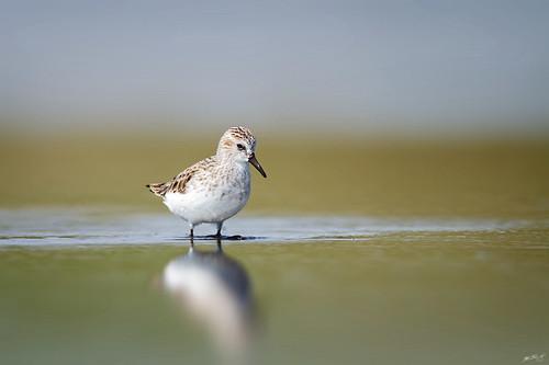 nature birds canon newjersey wildlife nj 7d peep sandpiper shorebird wildbirds semipalmatedsandpiper 600mm nummyisland