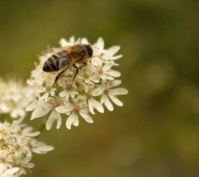 imgp9068 - Bee