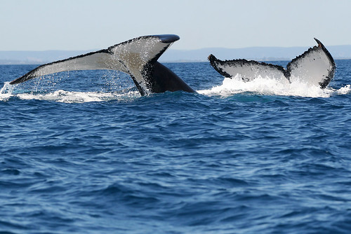 Humpback whales double tail!