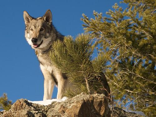 usa dogs colorado evergreen e3 dogpark hybrid thumper wolfhybrid barkpark elkmeadows evergreencolorado olympuse3 ericosmann huskyshepherdmalamutemix zuiko1454mmf2835ed
