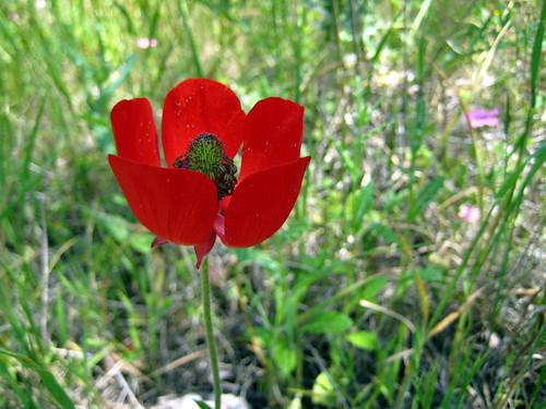 Ranunculus | by Sharon Greenberg