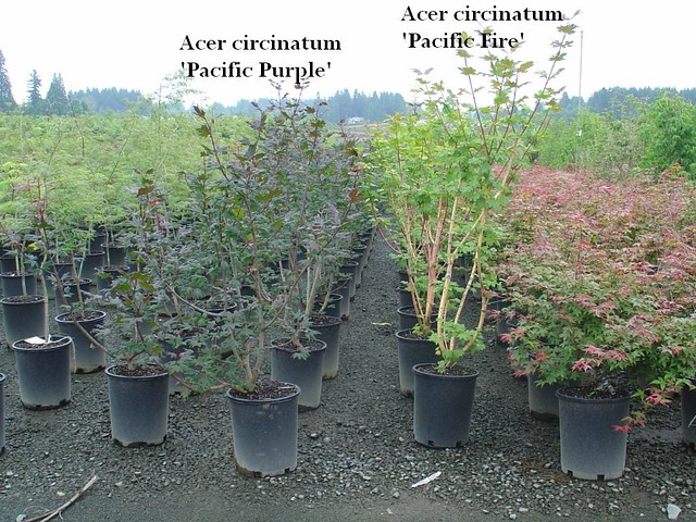 Acer Circinatum Pacific Purple And Pacific Fire Lance Schamberger