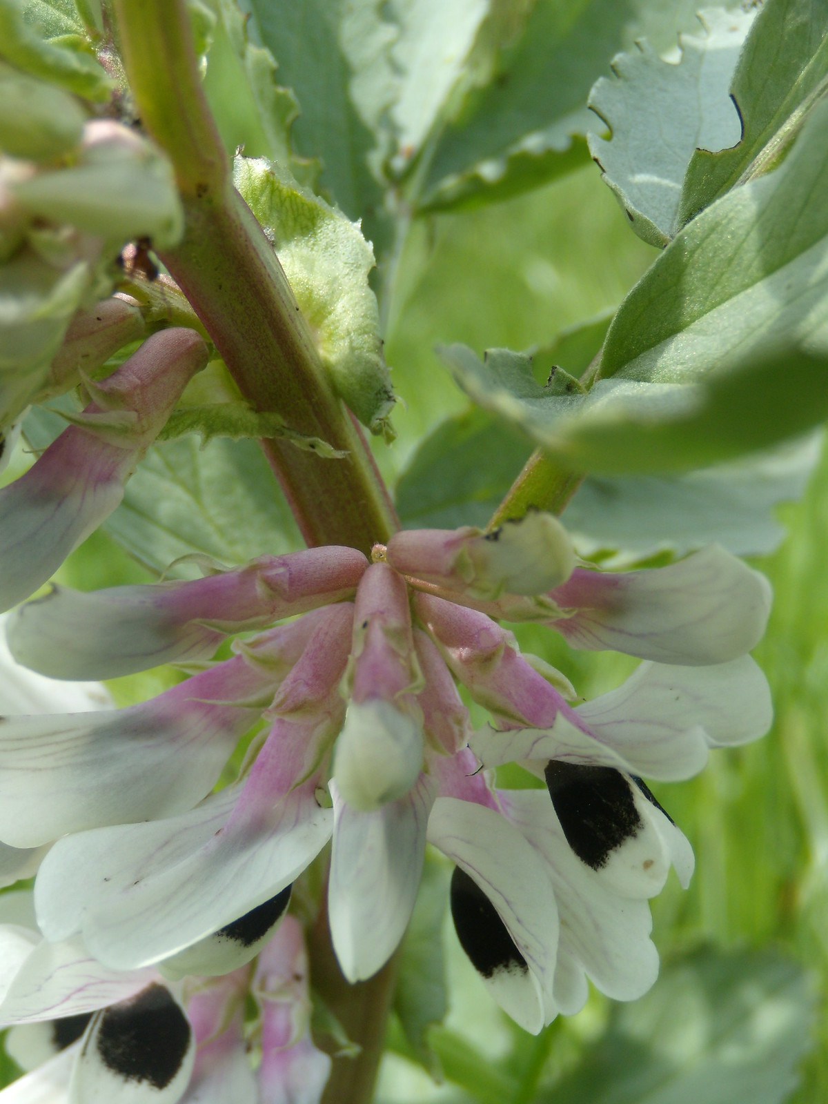 Broad bean in flower Wakes Colne to Bures