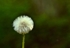 Dandelion Series - 3