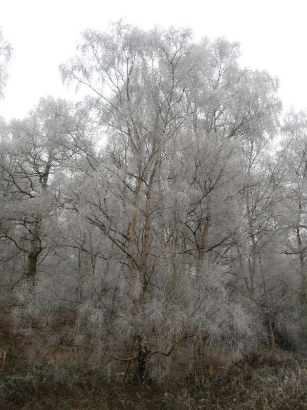 Frosty tree s Wanborough to Godalming