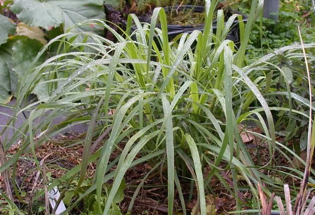Image result for Lemongrass