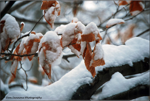 winter ohio sun snow cold tree january explore snowyleaves treebranches closeupshot explore275 citrit doniannone nikond80camera betterthangood photoexplore photosexploregroup cherryontopphotography mayfieldvillageohio