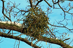 Wintery Mistletoe