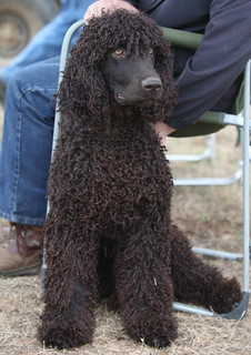 "Irish Water Spaniel ""Duke"" 