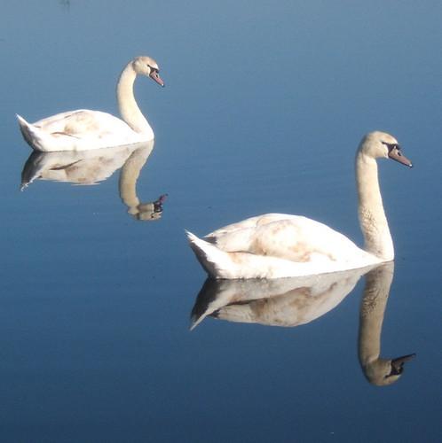 Swans on Needham Lake (1)