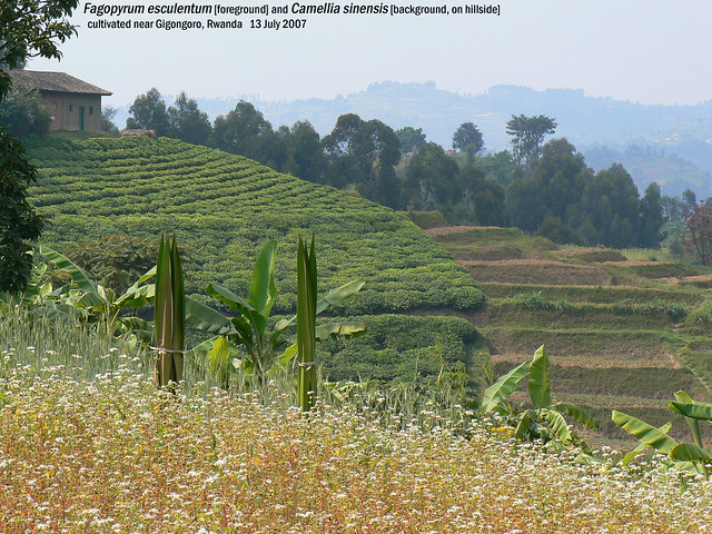 Camellia sinensis & Fagopyrum esculentum - nr Gigongoro, Rwanda, 13 Jul 2007 Henk