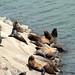 Ensenada Sea Lions - Yawp and Flop
