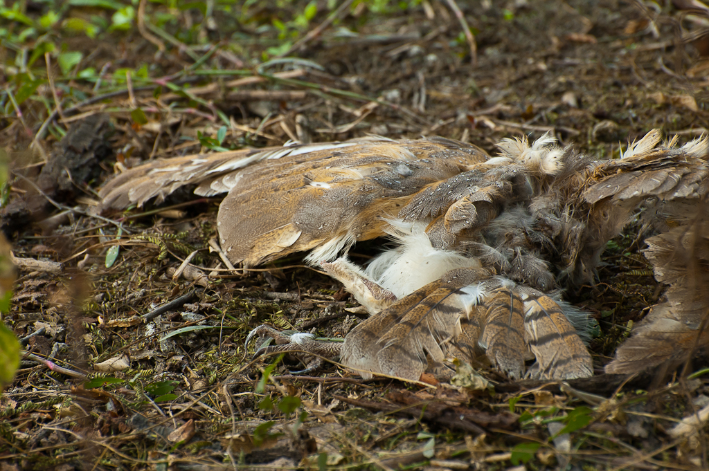 When a predator is preyed upon | A barn owl, if I remember ...