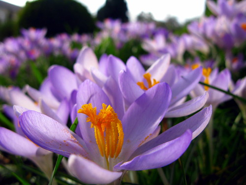 spring thankyou amor crocus flowering theunforgettablepictures grouptripod flowerstowers
