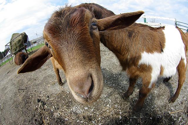 Large Headed Goat