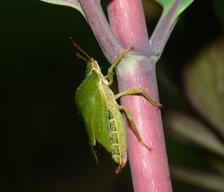 Green shield bug (Palomena prasina)   by bramblejungle