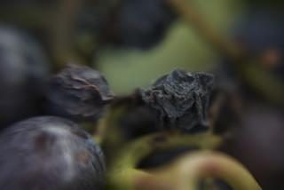 Wine Grapes and Raisins 3 | by Otto Phokus