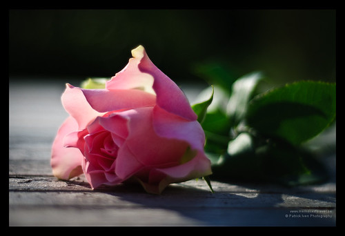 The Rose | by patrickiven