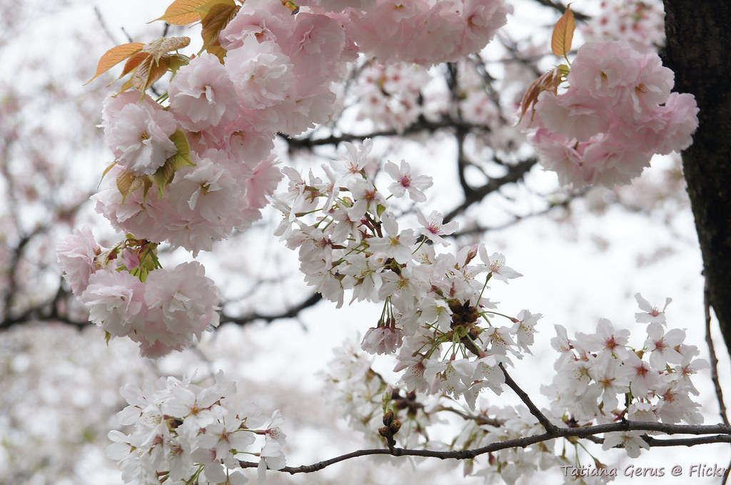 Cherry Blossom Varieties It Is Said There Are Over One Hun Flickr