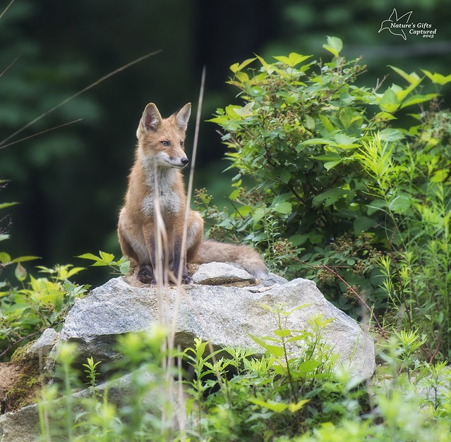 Fox Kit at the Den