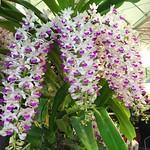 狐狸尾蘭。好美的狐狸尾。#狐狸尾蘭 #美麗 #蘭花 #愛花人 #orchid #Aroma #beautiful #Taiwan #台灣 #iPhone6 #instaflower #gardenlovers #オーキッド #香り #台湾 #美しい #綺麗