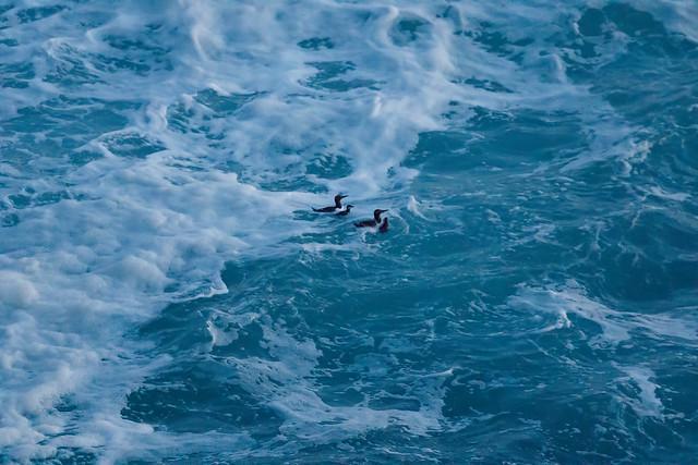 Guillemot baby's first swim! (5 of 5)